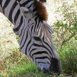 Grazing Zebra Close-Up - Stock Photo