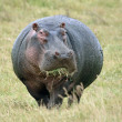 Hippopotamus Eating Grass — Stock Photo