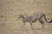 Cheetah On The Prowl — Stock Photo