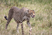 Cheetah Walking, Tongue Out — Stock Photo