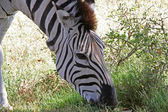 Grazing Zebra Close-Up — Stock Photo