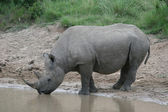 Thirsty Rhino — Stock Photo