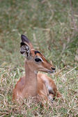 Impala Foal — Stock Photo