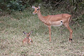 Impala Mother And Foal — Stock Photo