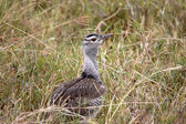 Kori Bustard Chick — Stock Photo