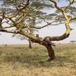 Lioess In An Acacia Tree — Stock Photo