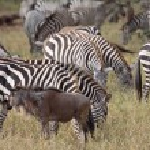 animales de la migración — Foto de Stock   #3446426