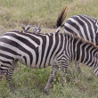 Oxpeckers On Zebra-Back — Stock Photo