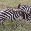 Stock Photo: Oxpeckers On Zebra-Back