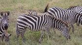 Oxpeckers On Zebra-Back — Stock Photo