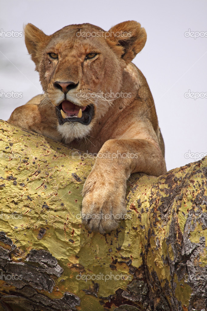 Adult lioness surveys her territory from the vantage point of an acacia tree ...