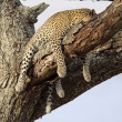 Stock Photo: Sleeping Leopard