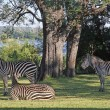 Stock Photo: Three Zebra