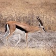 Thomson's Gazelle - Male — Stock Photo