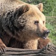 Brown Bear Pouting - Lizenzfreies Foto
