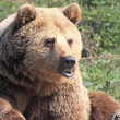 Brown Bear Pouting — Stock Photo