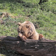 Royalty-Free Stock Photo: Brown Bear Resting