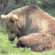 Brown Bear Sitting - Lizenzfreies Foto
