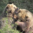 Brown Bears Fighting - Stock Photo
