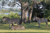 Three Zebra — Stock Photo