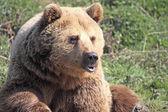 Orso imbronciato — Foto Stock