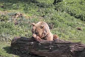 Brown Bear Resting — Stock Photo