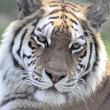 Amur Tiger Close-Up — Stock Photo