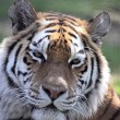 Siberian Tiger Close-Up — Stock Photo #3470618
