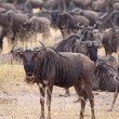 Wildebeest Herd - Stock Photo