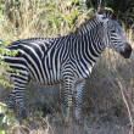 Young Zebra — Stock Photo #3470661