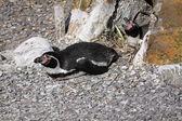 Nesting Penguins — Stock Photo
