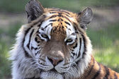Siberian Tiger Close-Up — Stock Photo
