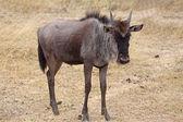 Wildebeest Calf — Stock Photo