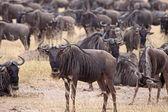 Wildebeest Herd — Stock Photo