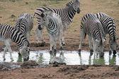 Zebra Drinking — Stock Photo