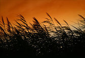 Whispering Reeds At Sunset Wind — Stock Photo