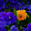 Yellow Violet Amung Purple Violets — Stock Photo