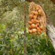 Hanged Dried Onions Under Olive Trees — Stock Photo