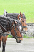 Pair of horses in a vehicle — Stockfoto