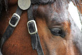 Bay a horse with a white mark in a harness — Foto Stock
