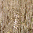 Stock Photo: Barley ear