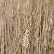 Barley ear — Stock Photo