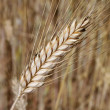 Royalty-Free Stock Photo: Barley ear