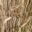 Barley ear — Stock Photo