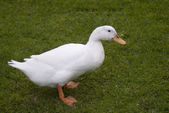 White duck walking on the green grass — Stock Photo