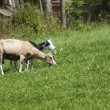 Two goats feeding on green grass — Stock Photo #3748550