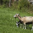 Two goats feeding on green grass — Stock Photo