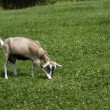 Goat feedingon a green grass — Stock Photo