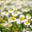 Royalty-Free Stock Photo: Daisy background