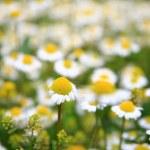 Daisy background — Stock Photo